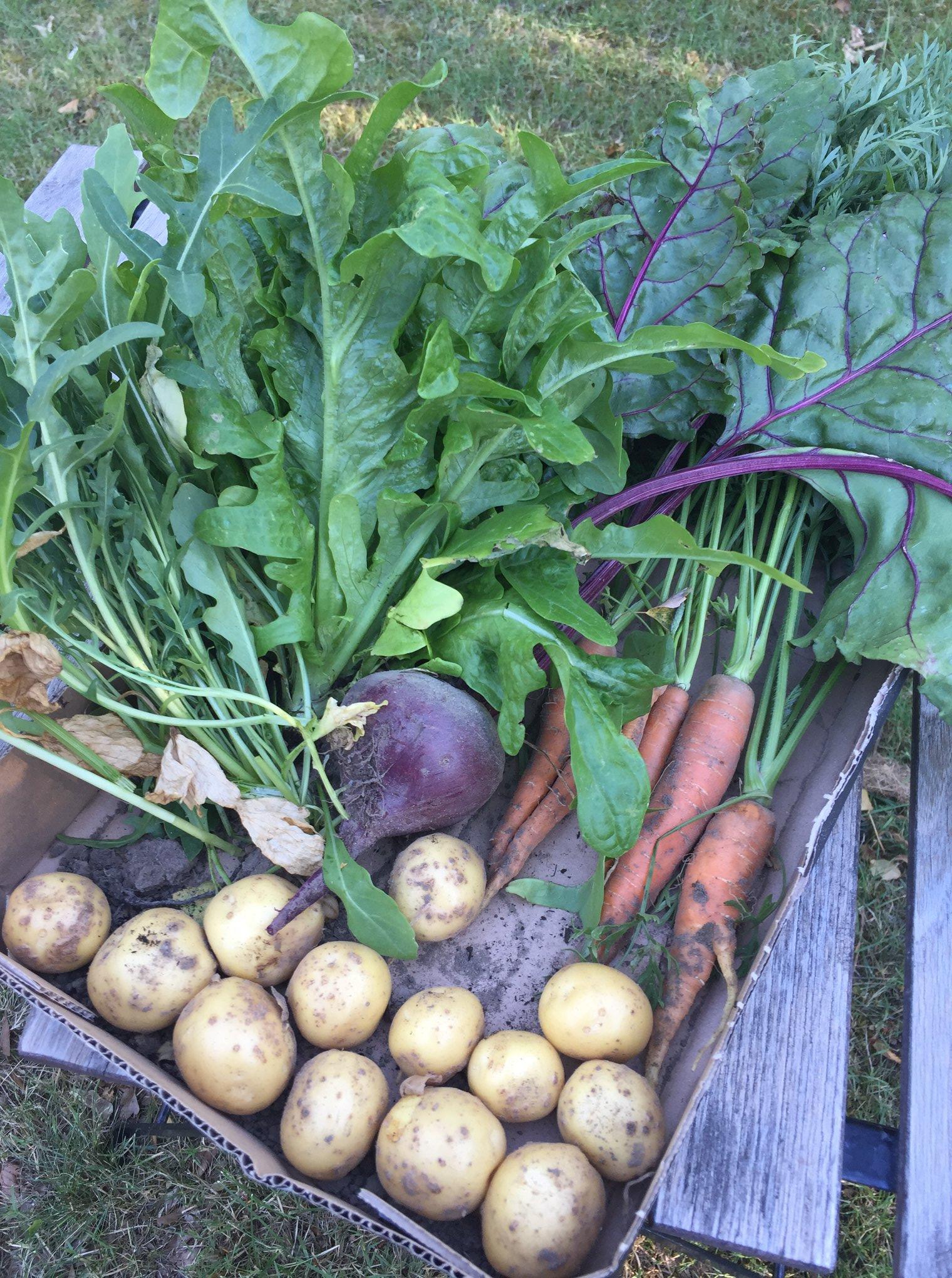 Jord under neglene... høst af hjemmedyrkede grøntsager